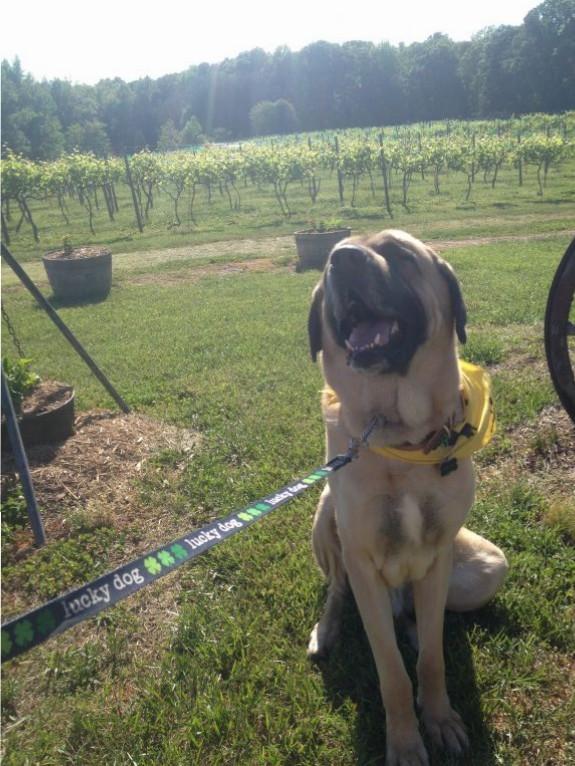 Finn at Hartwood Winery